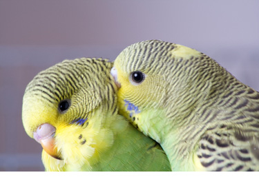 oils_parakeets